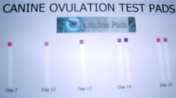 ovulation pads canine ovualuation pads. Black Bedroom Furniture Sets. Home Design Ideas